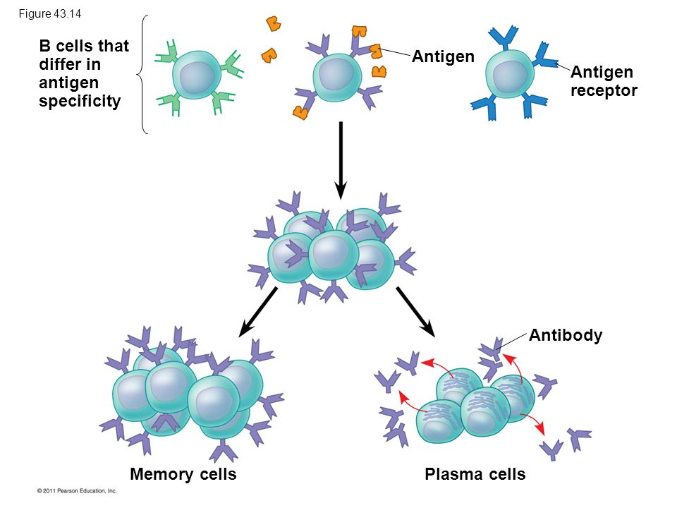 B cells that differ in antigen specificity Antigen Antigen receptor