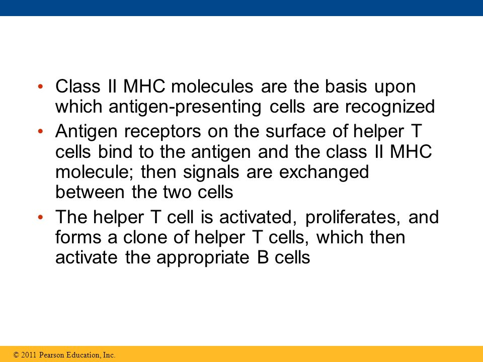 Class II MHC molecules are the basis upon which antigen-presenting cells are recognized