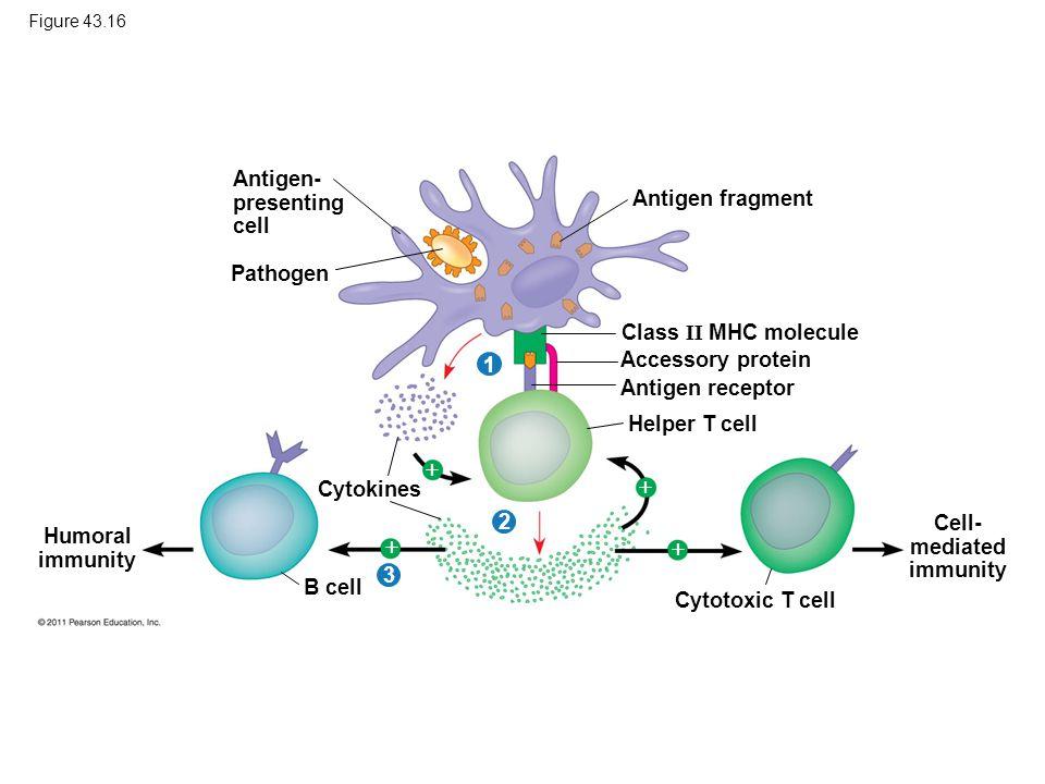 Cell- mediated immunity