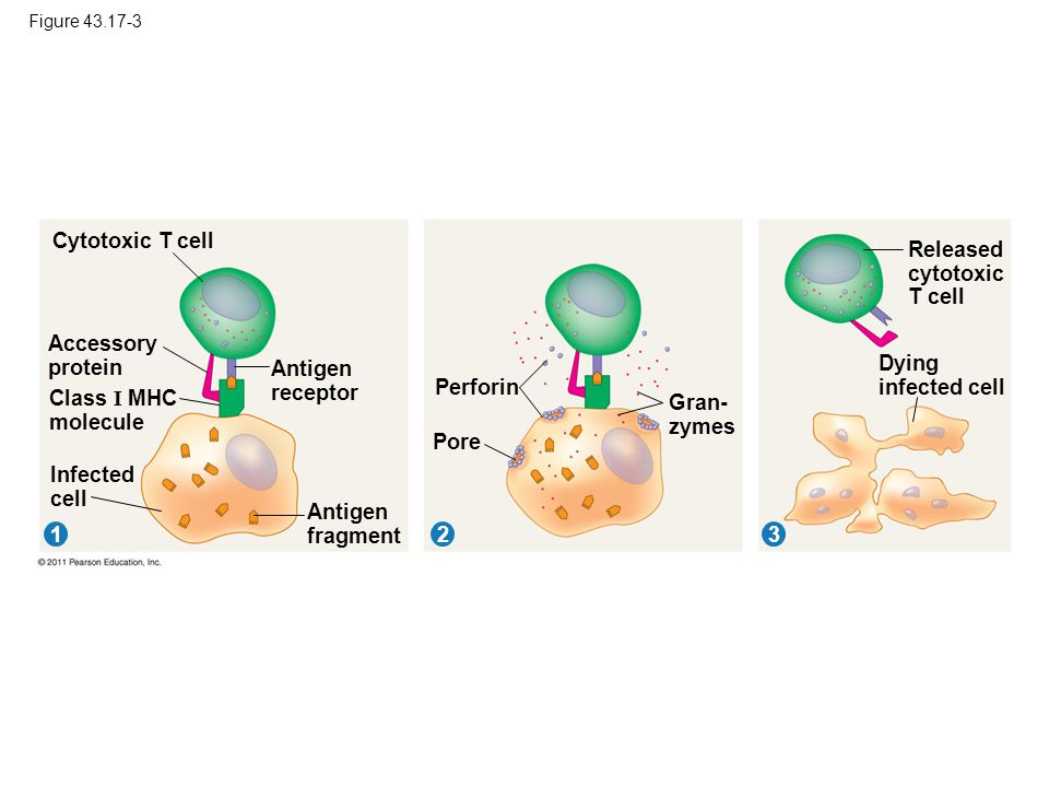Released cytotoxic T cell