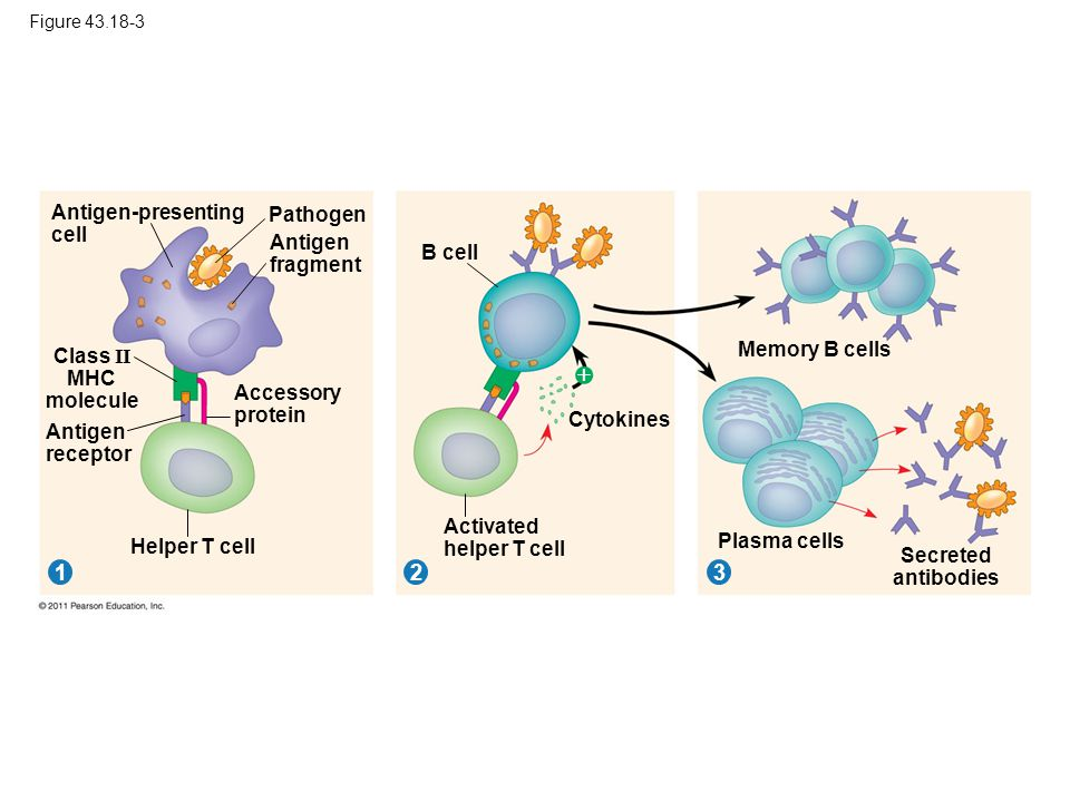  1 2 3 Antigen-presenting cell Pathogen Antigen fragment B cell