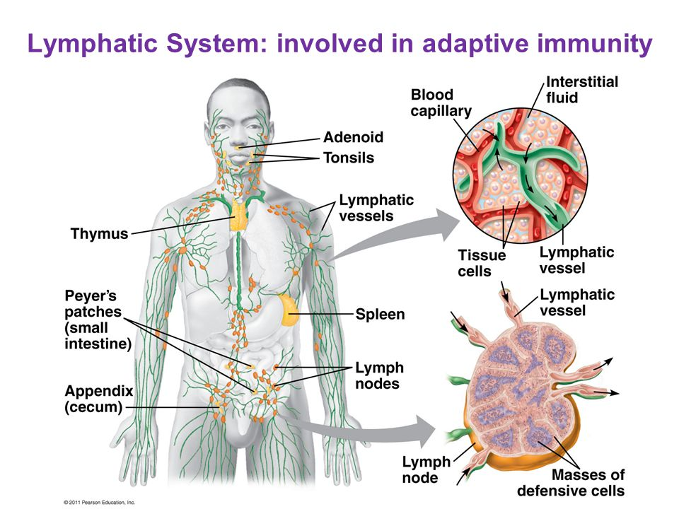 Lymphatic System: involved in adaptive immunity