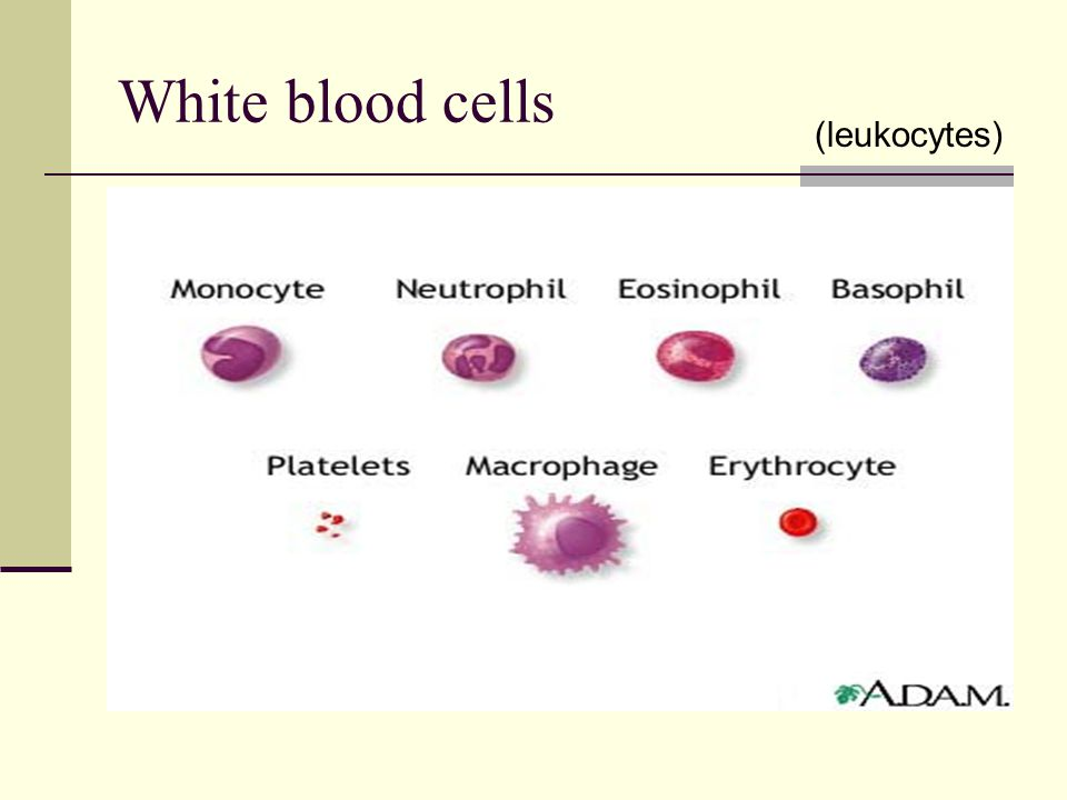 White blood cells (leukocytes) defend the body against invaders