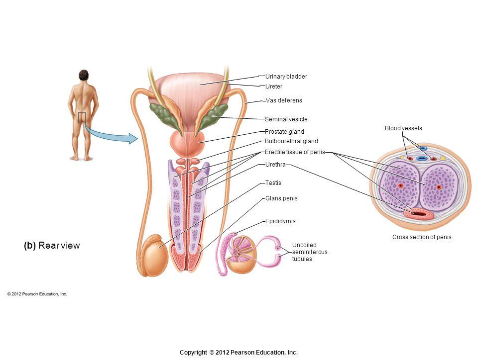 Erectile tissue of penis