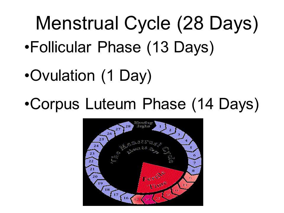 Menstrual Cycle (28 Days)