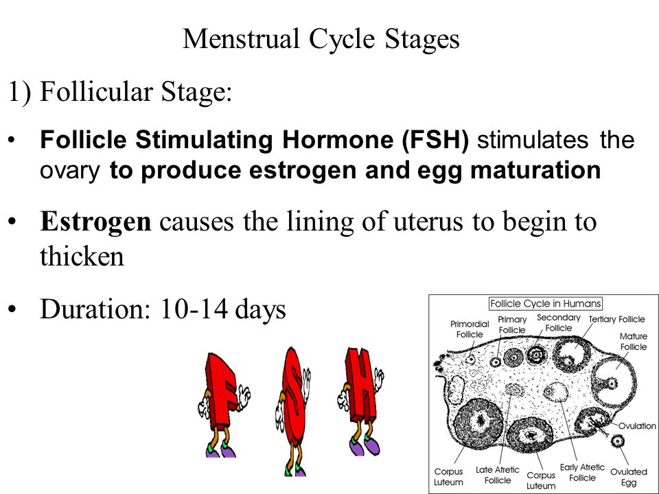 Menstrual Cycle Stages