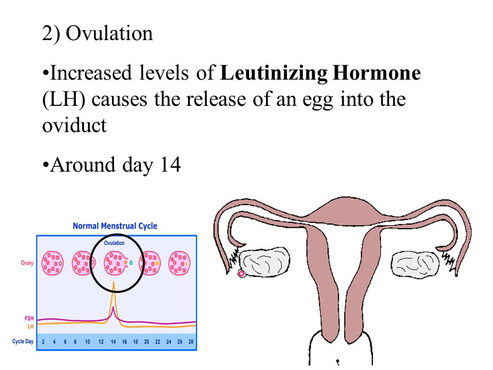 2) Ovulation Increased levels of Leutinizing Hormone (LH) causes the release of an egg into the oviduct.