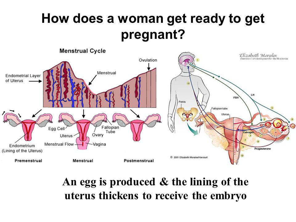 How does a woman get ready to get pregnant