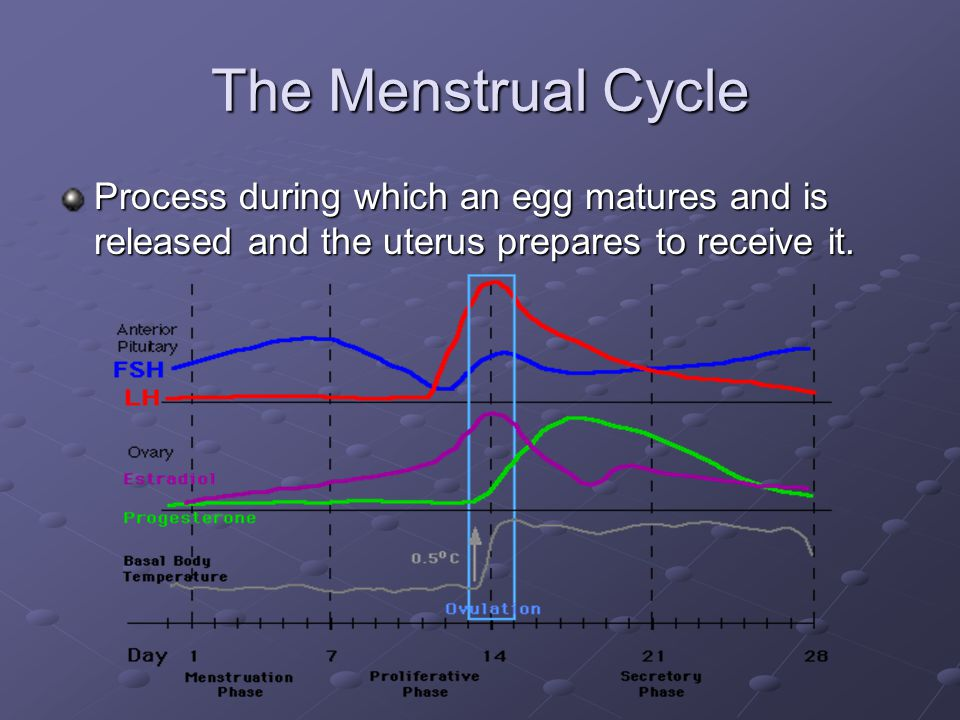 The Menstrual Cycle Process during which an egg matures and is released and the uterus prepares to receive it.