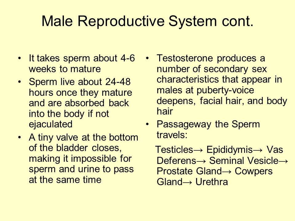 Male Reproductive System cont.