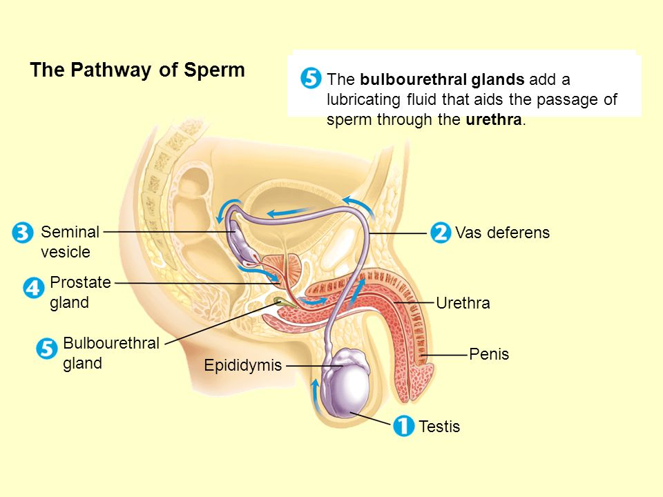 The Pathway of Sperm Seminal vesicles add a fluid that provides a source of energy for the active sperm.