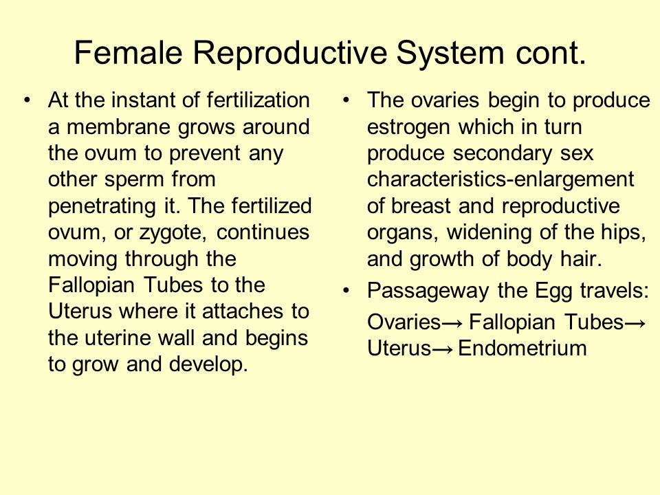 Female Reproductive System cont.