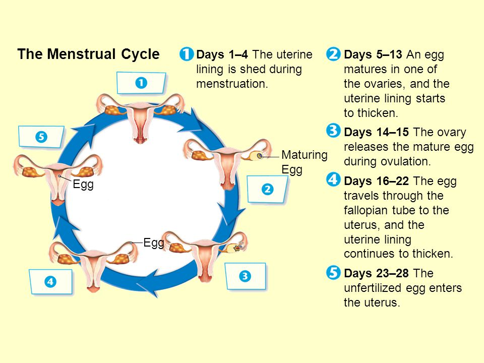 The Menstrual Cycle Days 1–4 The uterine lining is shed during menstruation.