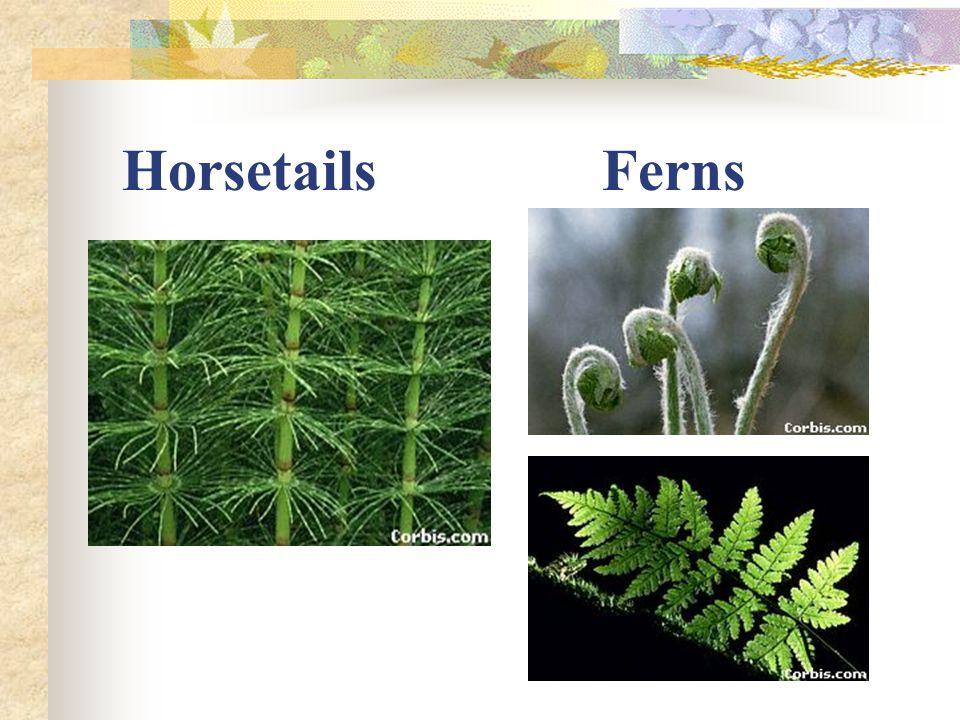 Horsetails Ferns