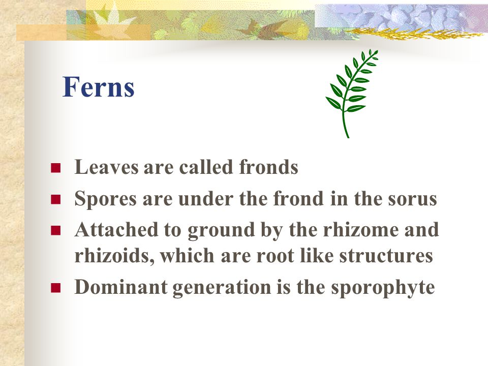 Ferns Leaves are called fronds Spores are under the frond in the sorus
