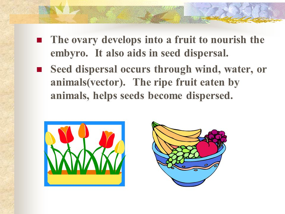 The ovary develops into a fruit to nourish the embyro