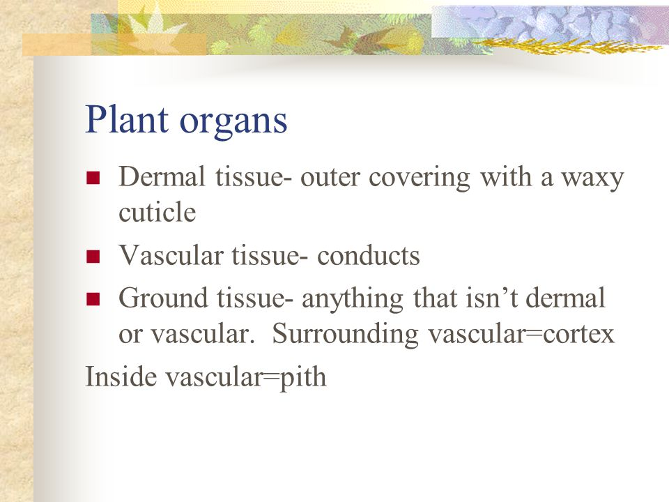 Plant organs Dermal tissue- outer covering with a waxy cuticle