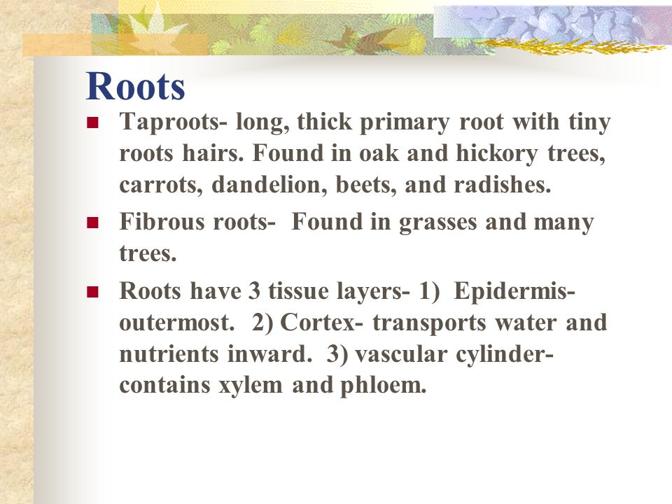 Roots Taproots- long, thick primary root with tiny roots hairs. Found in oak and hickory trees, carrots, dandelion, beets, and radishes.