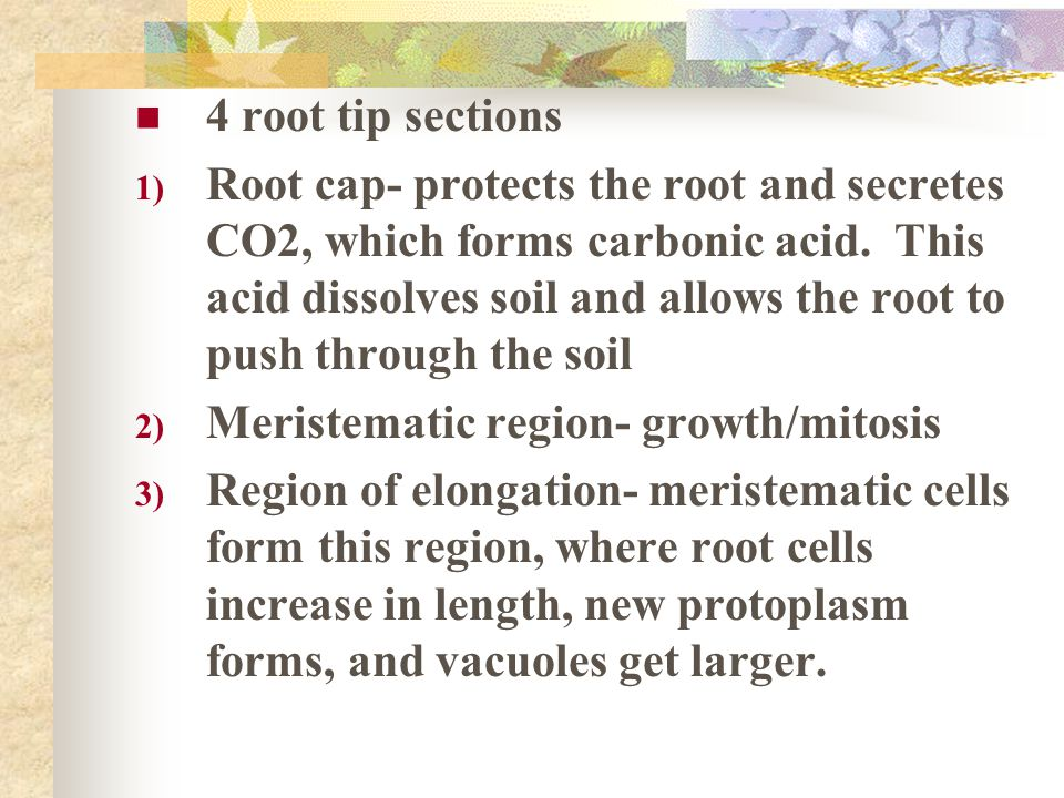 4 root tip sections