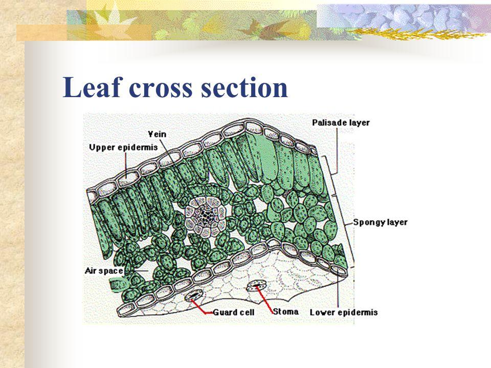 Leaf cross section