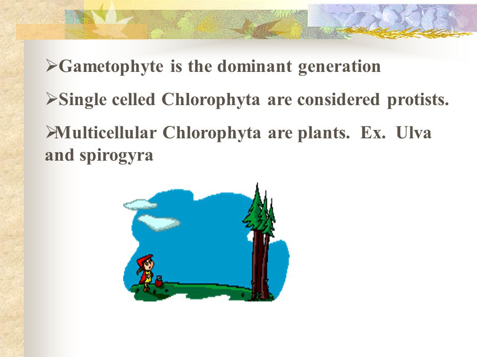Gametophyte is the dominant generation