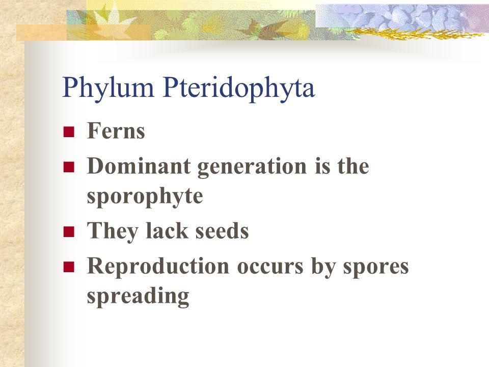 Phylum Pteridophyta Ferns Dominant generation is the sporophyte
