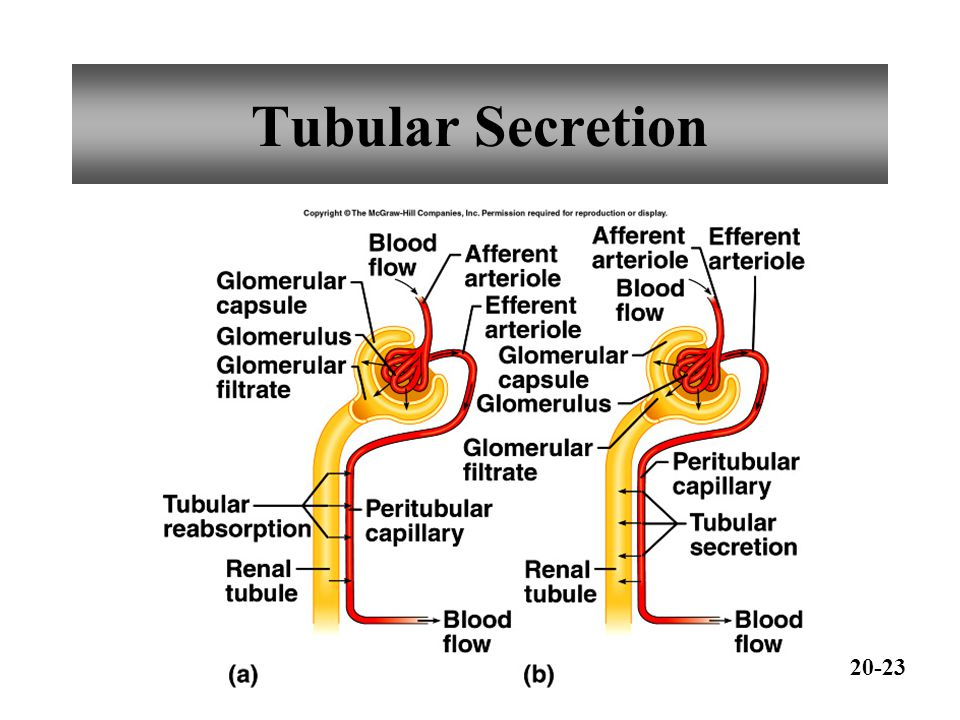 Tubular Secretion 20-23