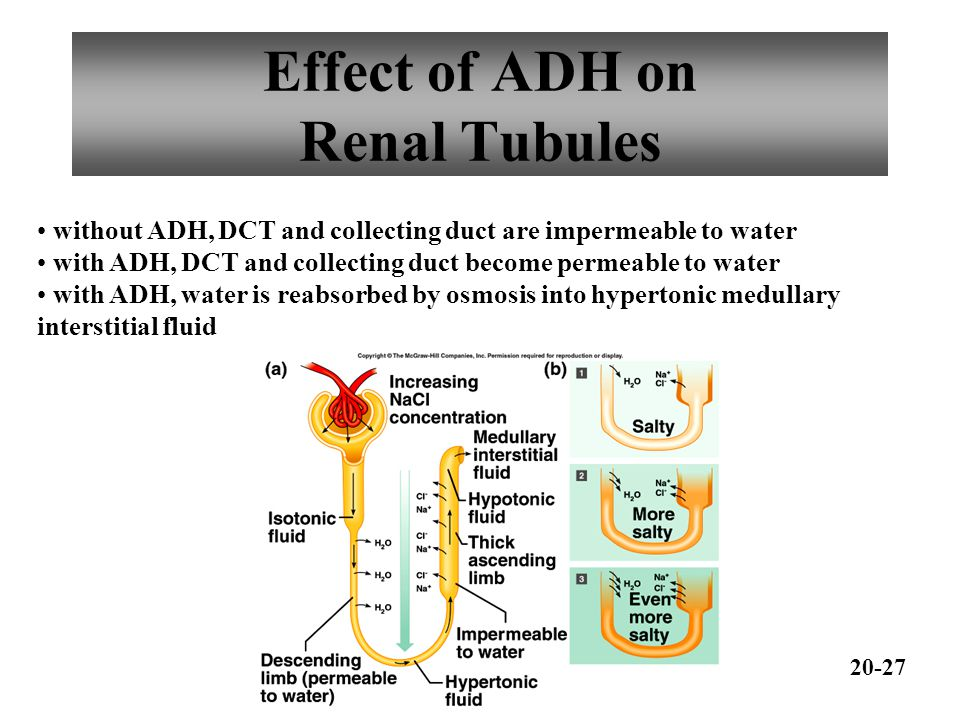 Effect of ADH on Renal Tubules
