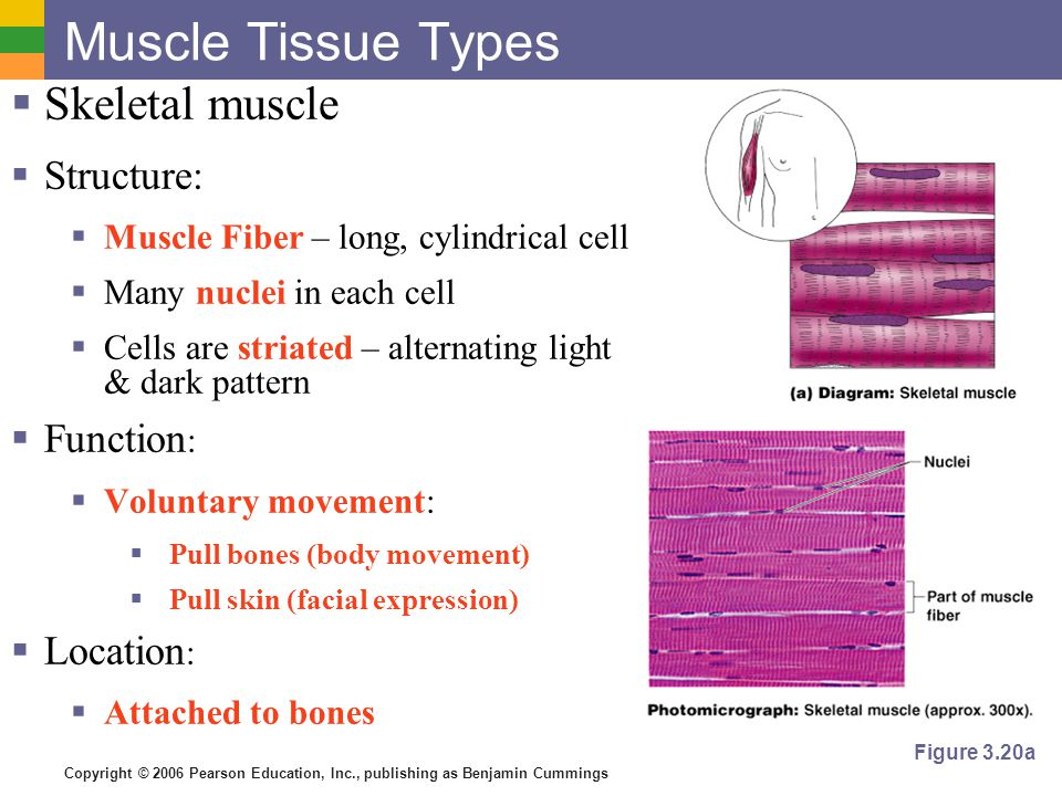 Muscle Tissue Types Skeletal muscle Structure: Function: Location: