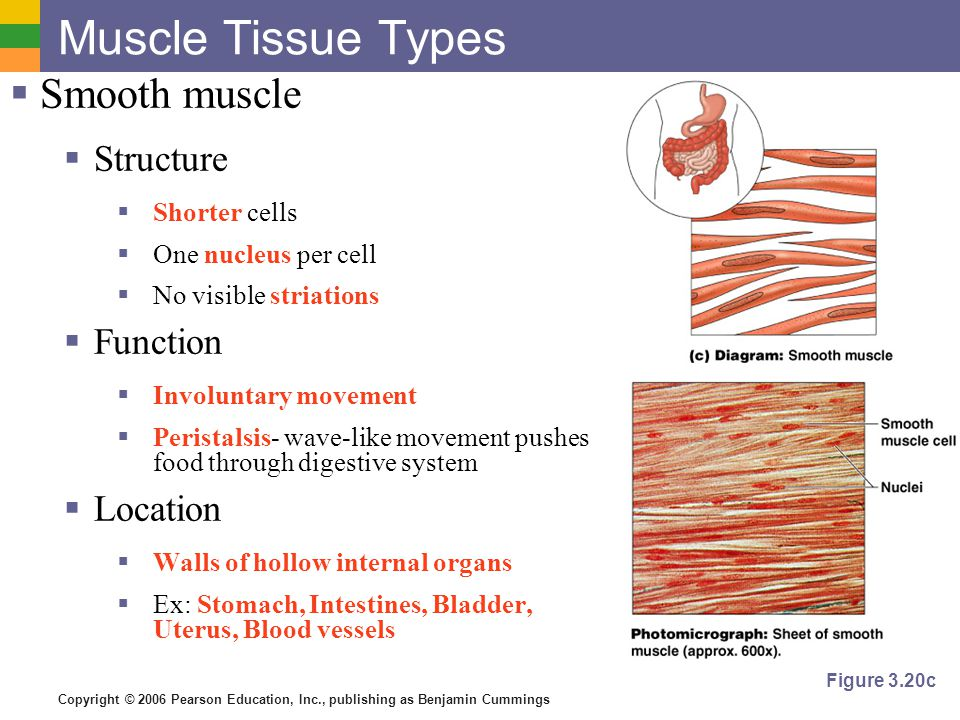 function of muscle tissue Muscle tissue muscle tissue is made of excitable cells that are capable of contraction of all of the different tissue types (muscle, epithelial, connective, and nervous), muscle tissue is the most abundant in most animals muscle tissue types muscle tissue contains numerous microfilaments composed of the contractile proteins actin and.