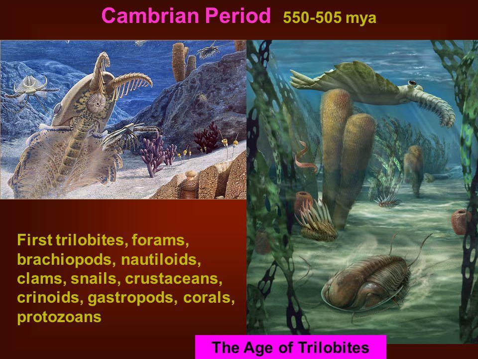 Cambrian Period 550-505 mya Stromatolites.