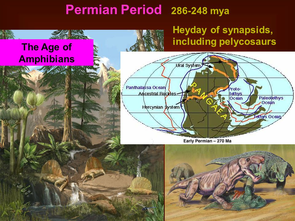 Permian Period 286-248 mya Heyday of synapsids, including pelycosaurs
