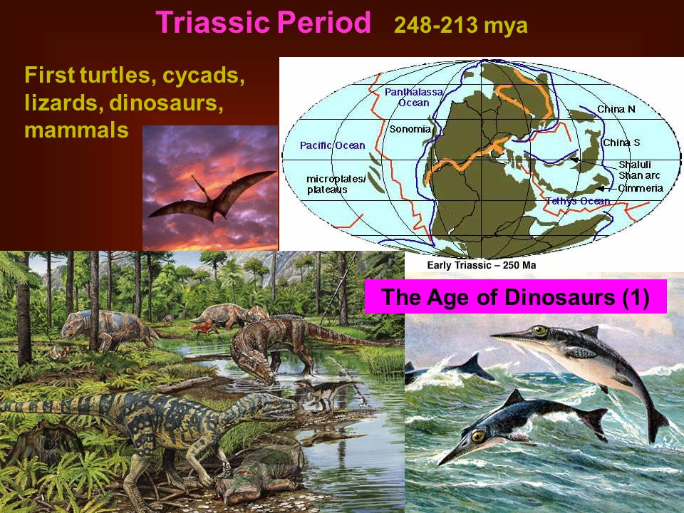 Triassic Period 248-213 mya First turtles, cycads, lizards, dinosaurs, mammals.