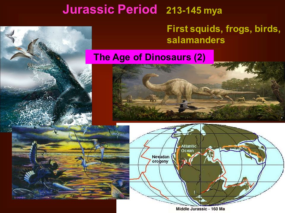 Jurassic Period 213-145 mya First squids, frogs, birds, salamanders