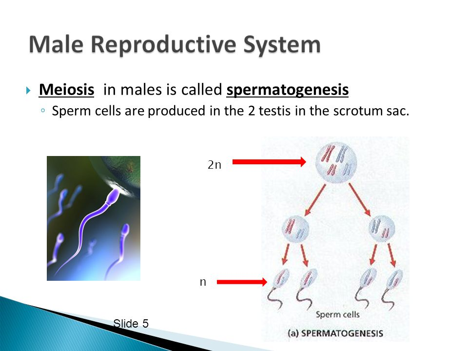 Meiosis in males is called spermatogenesis