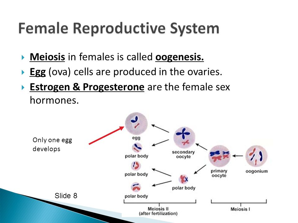 Meiosis in females is called oogenesis.