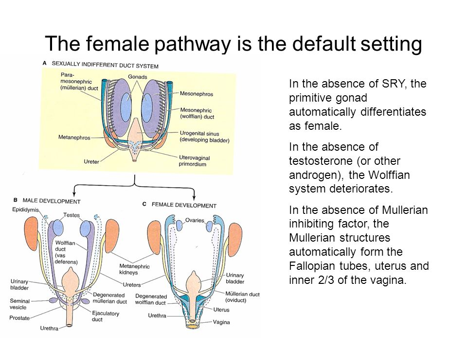 The female pathway is the default setting
