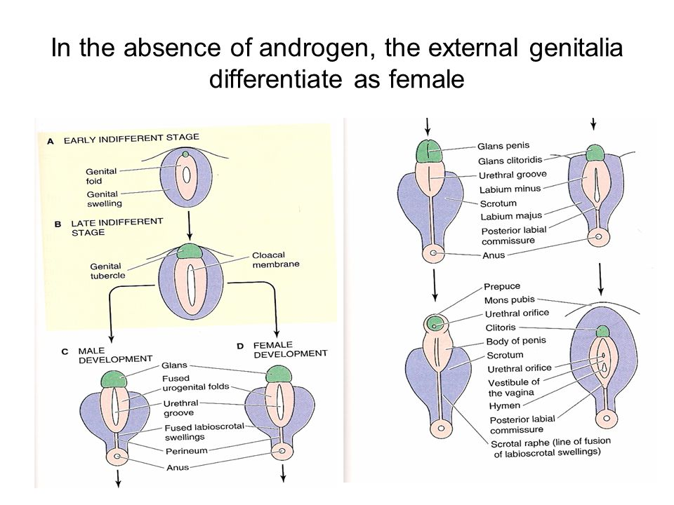 In the absence of androgen, the external genitalia differentiate as female