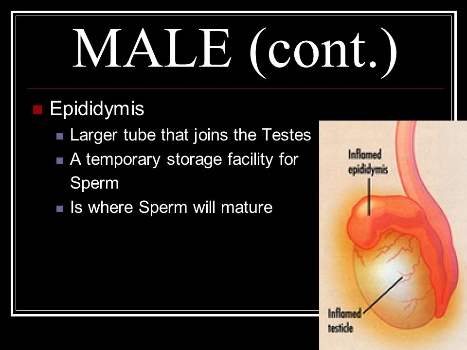 MALE (cont.) Epididymis Larger tube that joins the Testes