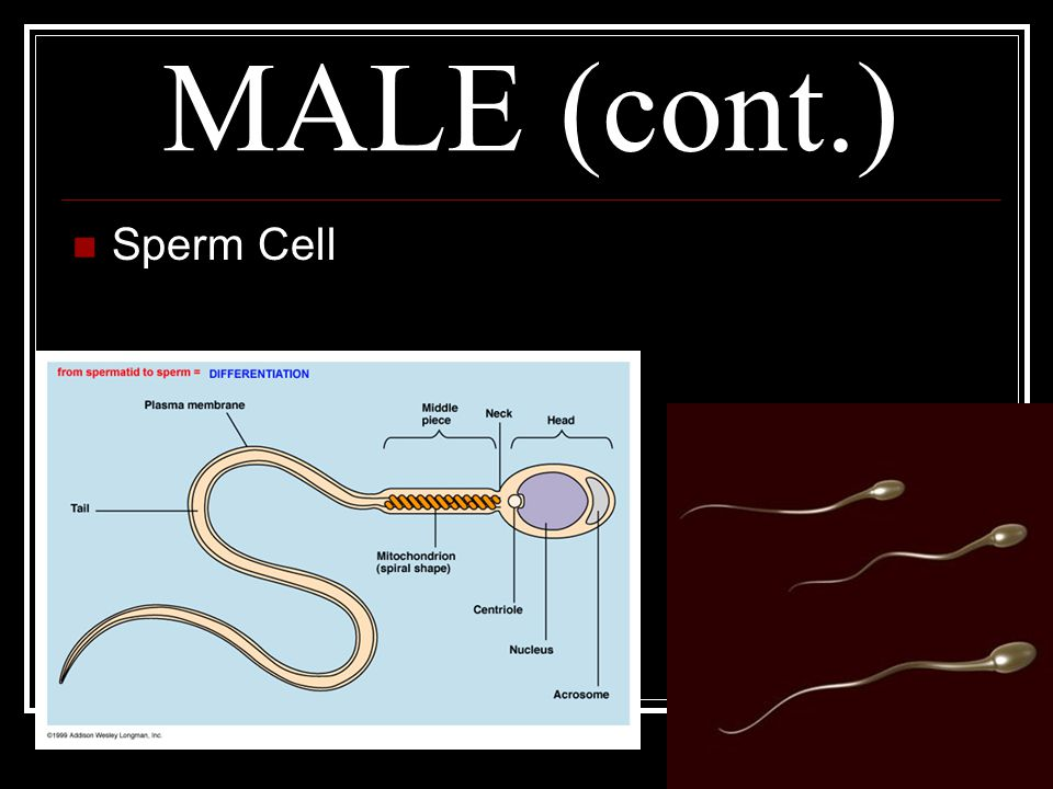 MALE (cont.) Sperm Cell