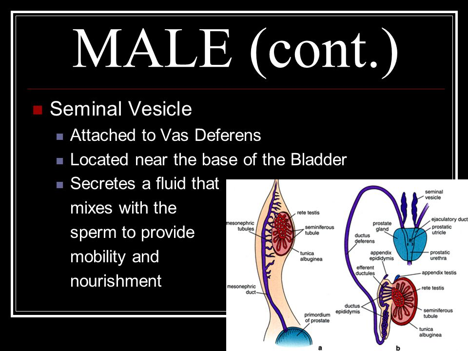 MALE (cont.) Seminal Vesicle Attached to Vas Deferens