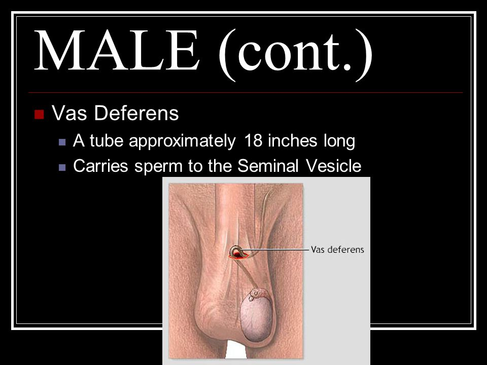 MALE (cont.) Vas Deferens A tube approximately 18 inches long