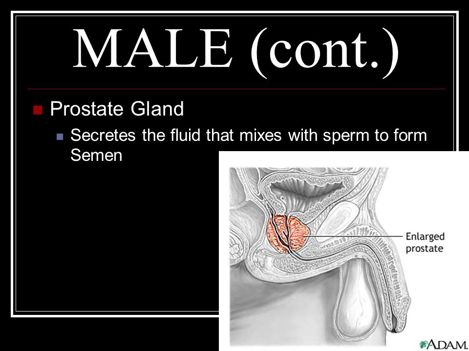MALE (cont.) Prostate Gland