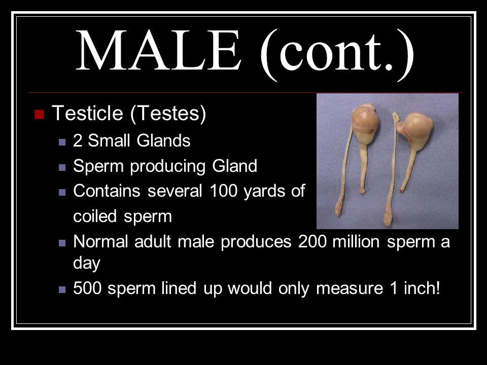 MALE (cont.) Testicle (Testes) 2 Small Glands Sperm producing Gland