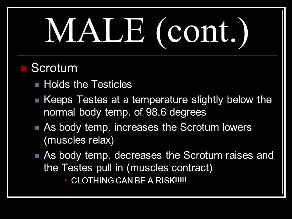 MALE (cont.) Scrotum Holds the Testicles