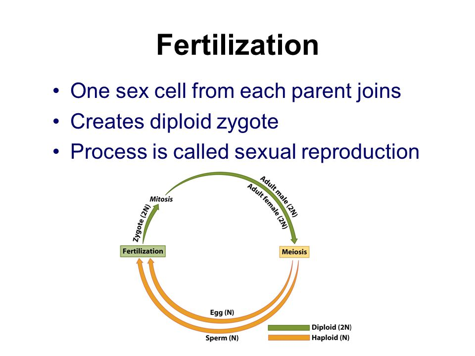Fertilization One sex cell from each parent joins