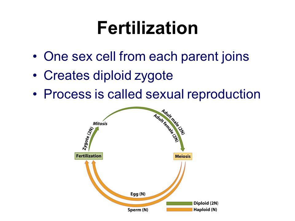 Fertilization One sex cell from each parent joins