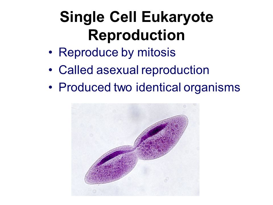 Single Cell Eukaryote Reproduction