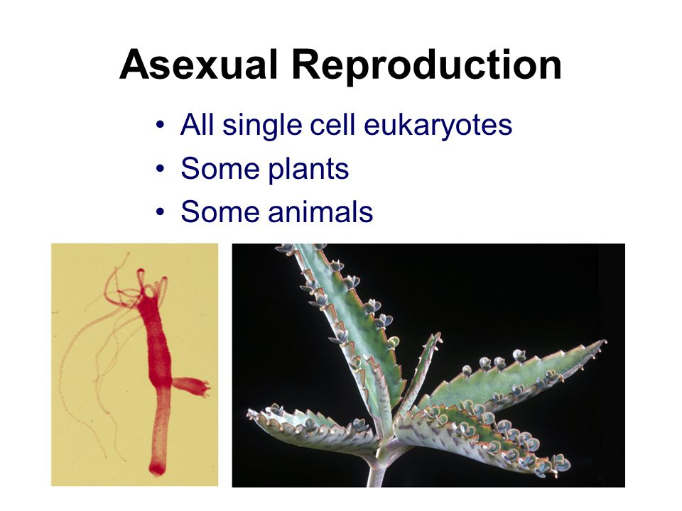 Asexual Reproduction All single cell eukaryotes Some plants