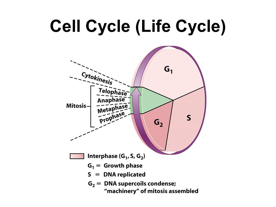 Cell Cycle (Life Cycle)